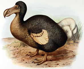 Painting of a dodo by Frederick William Frohawk, 1905.